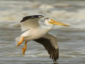 American White Pelican in Low Flight over the Slave River Rapids by Klaus Nigge