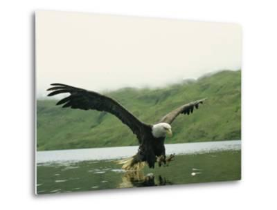 An American Bald Eagle in Flight over Water Hunting for Fish