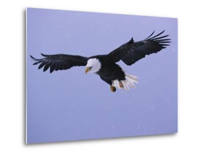 An American Bald Eagle in Flight