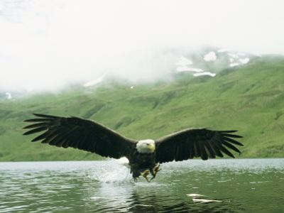 An American Bald Eagle Lunges Toward its Prey Below the Water by Klaus Nigge