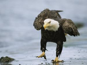 An American Bald Eagle Walks Intently Toward its Prey by Klaus Nigge