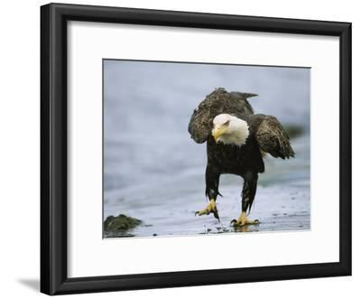 An American Bald Eagle Walks Intently Toward its Prey