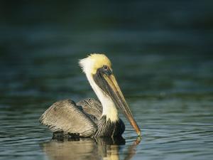 Brown Pelican on Floridas Gulf Coast by Klaus Nigge