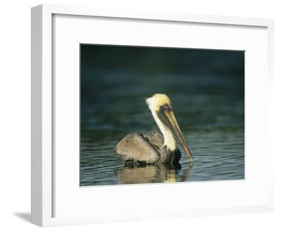 Brown Pelican on Floridas Gulf Coast