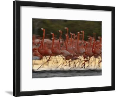 Caribbean Flamingos Run with Raised Heads in Display Behavior