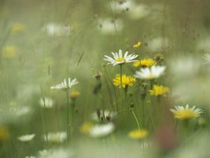 Field Filled with Daisies and Dandelions in Bloom by Klaus Nigge