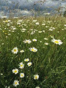 Field Filled with Daisies and Tall Grasses by Klaus Nigge