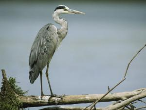 Graceful Gray Heron Standing on a Log by Klaus Nigge