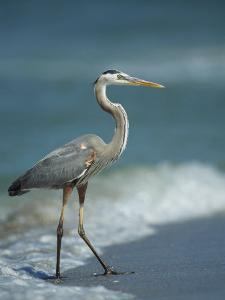Great Blue Heron Walks in the Sand by Klaus Nigge