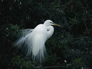 Great Egret Displays its Plumage by Klaus Nigge