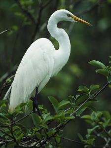 Great Egret Perches on a Tree Branch by Klaus Nigge