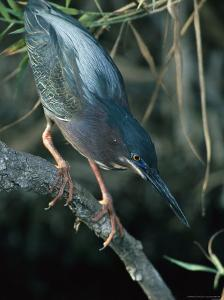 Green-Backed Heron Perches on a Tree Branch by Klaus Nigge