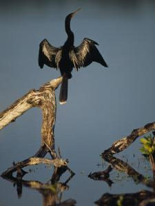 Male Anhinga Perches on a Tree Stump above a Coastal Lagoon by Klaus Nigge