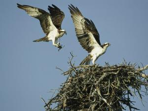 Osprey Landing in its Nest near its Partner by Klaus Nigge