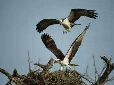 Osprey Landing in its Nest near its Partner