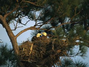 Pair of American Bald Eagles Sitting in Their Nest in a Pine Tree by Klaus Nigge