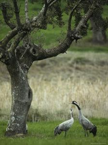 Pair of Common Cranes Standing in Grass under a Gnarled Tree by Klaus Nigge