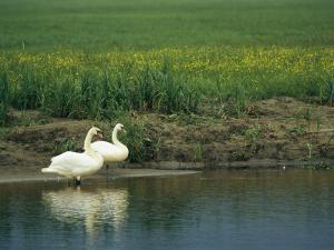Pair of Mute Swans Standing at Waters Edge by Klaus Nigge