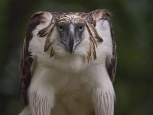 Portrait of a captive Philippine eagle by Klaus Nigge
