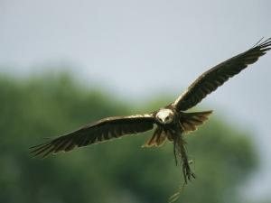 Raptor in Flight with Nest Building Material in its Talons by Klaus Nigge