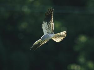 Raptor in Flight by Klaus Nigge