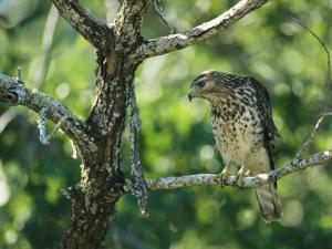Red-Shouldered Hawk Perches in a Tree on Floridas Gulf Coast by Klaus Nigge