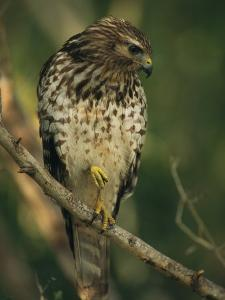 Red-Shouldered Hawk Perches on a Tree Branch by Klaus Nigge