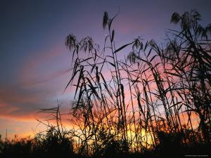 Silhouette of Tall Grass at Sunset by Klaus Nigge
