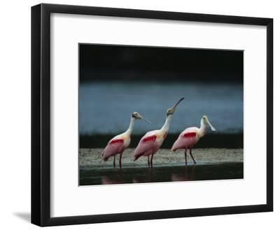 Trio of Roseate Spoonbills Are Reflected in a Coastal Lagoon