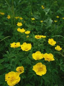 Yellow Wildflowers Blooming in Lush Green Foliage by Klaus Nigge
