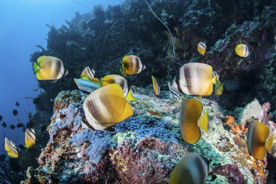 Klein's Butterflyfish Swim over a Reef Near Sulawesi, Indonesia-Stocktrek Images-Photographic Print
