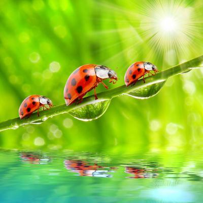 Funny Picture Of The Ladybugs Family Running On A Grass Bridge Over A Spring Flood