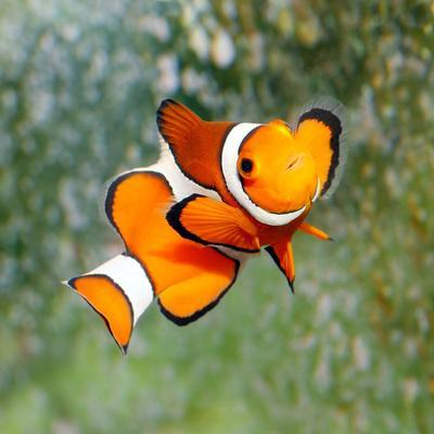 Tropical Reef Fish - Clownfish (Amphiprion Ocellaris) Macro With Shallow Dof