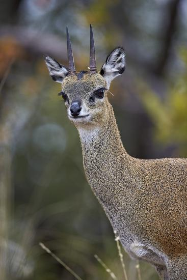 Klipspringer (Oreotragus Oreotragus) Male, Kruger National Park, South Africa, Africa-James Hager-Photographic Print