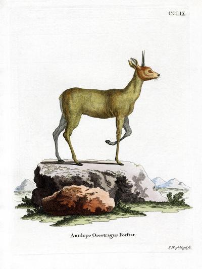 Klipspringer--Giclee Print