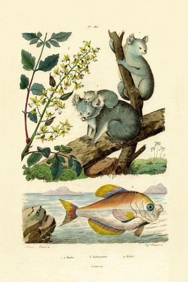 Koala, 1833-39--Giclee Print