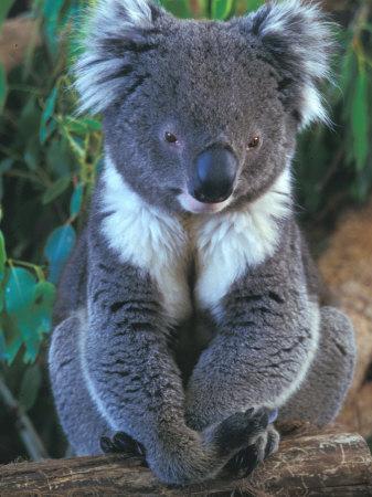 Koala, Australia-John & Lisa Merrill-Photographic Print