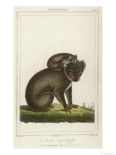 Koala Bear Carrying Its Young- Lecerf-Giclee Print