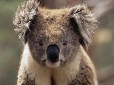 Koala Bear (Phascolarctos Cinereus), Phillip Island, Victoria, Australia, Pacific-James Hager-Photographic Print