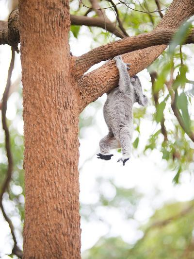 Koala Bear (Phascolarctos Cinereus), Port Macquarie Koala Bear Hospital, New South Wales, Australia-Matthew Williams-Ellis-Photographic Print