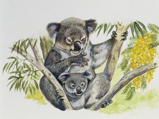 Koala Doe (Phascolarctos Cinereus) with Joey, Phascolarctidae--Giclee Print