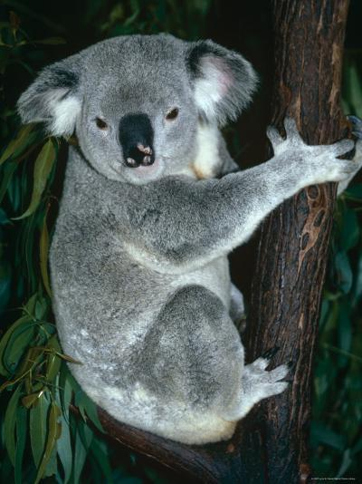 Koala, in Tree, Queensland, Australia-Lynn M^ Stone-Photographic Print