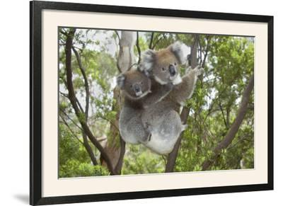 Koala Mother with Piggybacking Young Climbs Up--Framed Photographic Print