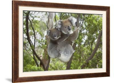 Koala Mother with Piggybacking Young Climbs Up--Framed Photographic Print