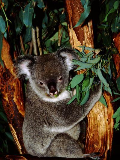 Koala on Eucalyptus, Featherdale Wildlife Park, Sydney, Australia-Cindy Miller Hopkins-Photographic Print