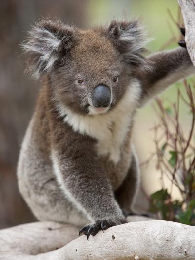 Koala (Phascolarctos Cinereus) in a Eucalyptus Tree, Yanchep National Park, West Australia--Photographic Print