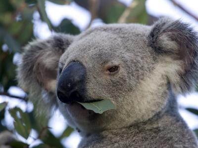 Koala, (Phascolartos Cinereus), Magnetic Island, Queensland, Australia-Thorsten Milse-Photographic Print