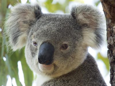 Koala, (Phascolartos Cinereus), Magnetic Island, Queensland, Australia-Thorsten Milse-Photographic Print