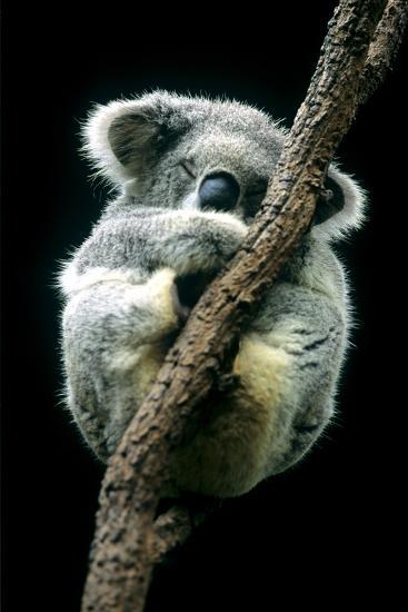 Koala Sleeping-Louise Murray-Photographic Print