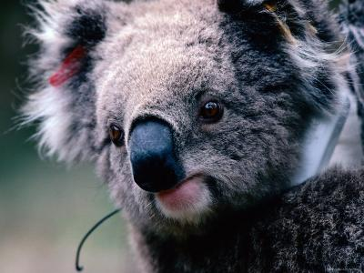 Koala with Transmitter, Phillip Island, Victoria, Australia-Michael Coyne-Photographic Print